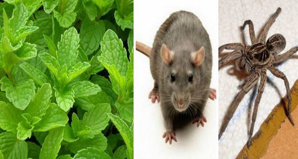 Home » Health » If You Have This Plant In Your House, You Will Never See Mice, Spiders And Other Insects Again! If You Have This Plant In Your House, You Will Never See Mice, Spiders And Other Insects Again!