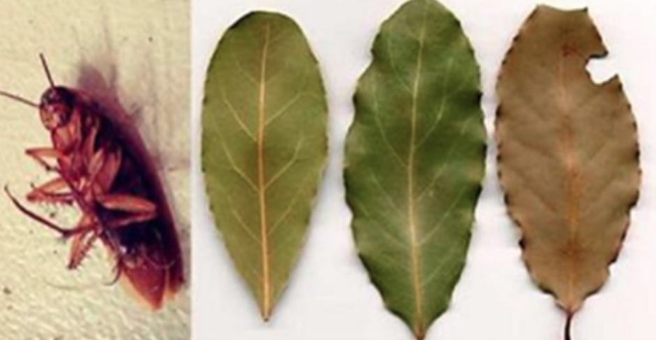Place A Few of These Leaves in the Corners of Your House and You Will Never See Cockroaches Again