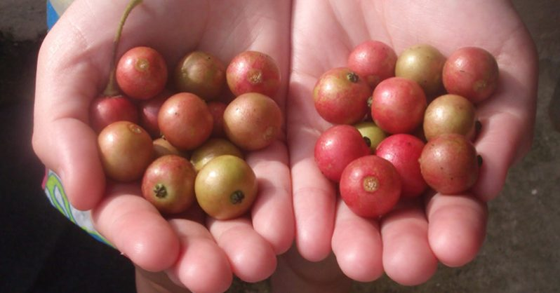 The little red berry that Mexicans have been using to fight cancer and inflammation for years