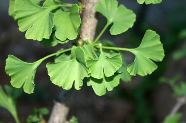 Ginkgo – Ginkgo Biloba, or Maiden hair-tree