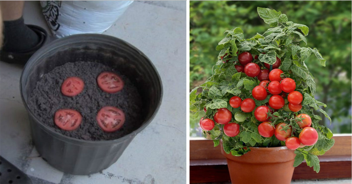 How To Grow An Unlimited Amount of Tomatoes Using Just 4 Slices And Some Dirt
